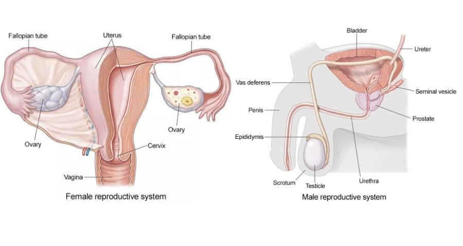 Male & Female reproduction system